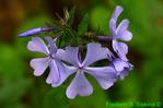 Wild blue phlox (DFL1692)