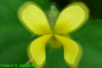 Yellow violet double exposure (DFL1683)