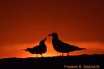 Laughing gulls sunrise (DGT153)