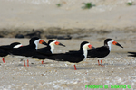 Black skimmers on beach (DGT175)
