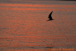 Black skimmer flying at sunset (DGT175)