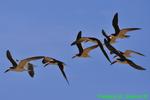 Black skimmers flying (DGT176)