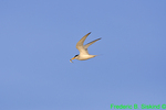 Least tern with fish (DGT191)