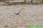 Least tern on nest (DGT193)