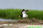 American oystercatcher with leg band (DSH8)