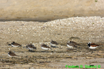 Turnstone, semipalmated plovers, semipalmated sandpipers, nap time (DSH381)