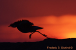 Willet at sunrise takeoff (DSH163}