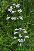 Foxglove Beardtongue (DFL1701)