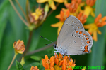 Coral hairstreak on butterfly weed (DBU1961)