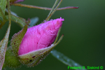 Swamp rose bud with dew (DFL656)