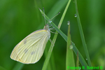 Cabbage white (DBU1532)