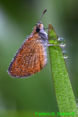 Dewy Least skipper (DBU372a)