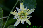 Yellow Passion Flower (DFL813)