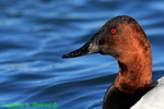 Canvasback,  (DGD305a)