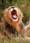 Male lion yawning.