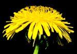 Dandelion flower, a composite flowerhead