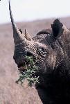 Black Rhino eats acacia