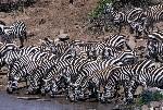 herd of common zebras drink from th Mara River, Kenya