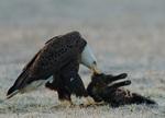 An adult Bald Eagle eats a road-killed feral cat.