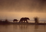 Brown bear and cub walking along Naknek Lake in fog at sunrise.