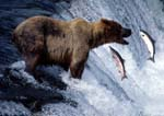 Brown (grizzly) bear fishing at Brooks Falls for sockeye salmon (Oncorhynchus nerka), with two salmon jumping.