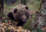 Brown (grizzly) bear cub resting in crook between two trees in fall.