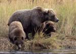 Brown (grizzly) bear sow and cubs on bank of Brooks River, one cub drinking, in fall.