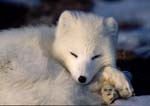 Arctic fox in white pellage resting in late winter.