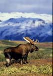 Moose bull standing in tundra in fall during rut, snow-covered mountains in background.