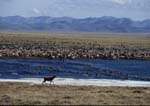 Porcupine caribou herd migrating along the arctic coastal plain in early summer, Brooks Range in background.