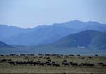 Porcupine caribou herd migrating along the coastal plain in summer, Brooks Range in the background.