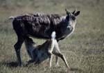 Caribou calf nursing in summer.