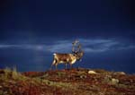 Caribou bull migrating along ridge in fall, storm clouds and rainbow in background. Antlers still have velvet on them.