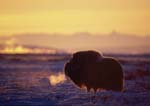 Musk-ox bull at sunrise, breath showing, on cold winter day (temperature -35 deg. F.).  Fog is rising from Sagavanirktok River.  Brooks Range in background.