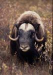 Musk-ox bull standing among willows in fall.