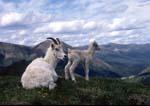 Dall's sheep ewe and lamb on hillside in summer, lamb standing.