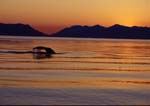 Humpback whale diving after sunset.  Baranof Island in background.