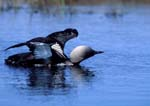 Pacific loon on tundra pond flapping wings, stretched out in threat display to another loon.