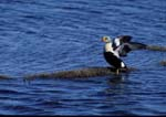 Male king eider on small island in tundra pond flapping wings after preening.