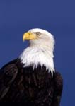 Bald eagle portrait, blue sky behind.