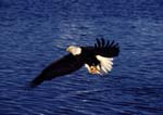 Bald eagle in flight carrying fish over Kachemak Bay, Alaska.