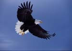 Bald eagle in flight, wings flare in landing.