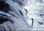 Sockeye (red) salmon jumping Brooks Falls during migration to spawning areas.