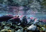 Sockeye (red) salmon at spawning grounds.  Underwater photograph.