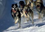 Lead dogs running toward corner during sled dog race.
