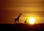 Giraffe with calf silhouetted against orange sky at sunrise.