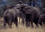 African elephants fighting.