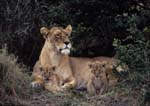 Lion female resting with 2 week old cubs at her side.