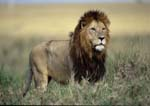 Lion male standing in tall grass.