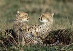 Cheetah cubs sitting peacefully together in grass, front legs intertwined.